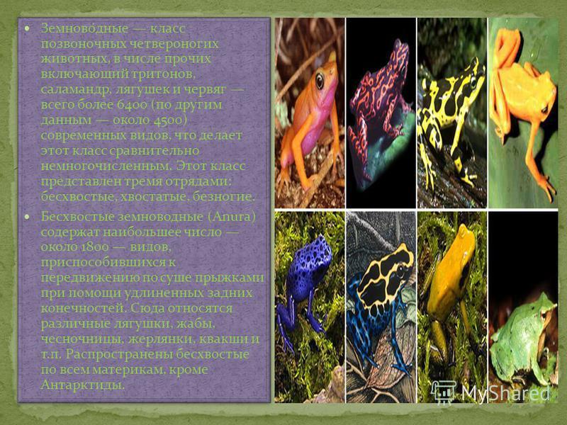 Земново́дные класс позвоночных четвероногих животных, в числе прочих включающий тритонов, саламандр, лягушек и червяг всего более 6400 (по другим данным около 4500) современных видов, что делает этот класс сравнительно немногочисленным. Этот класс пр