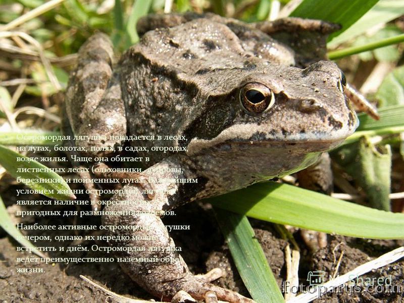 Остромордая лягушка попадается в лесах, на лугах, болотах, полях, в садах, огородах, возле жилья. Чаще она обитает в лиственных лесах (ольховники, дубровы, березники) и пойменных лугах. Важнейшим условием жизни остромордой лягушки является наличие в