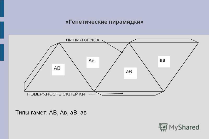 «Генетические пирамидки» Типы гамет: АВ, Ав, аВ, ав АВ аВ Ав ав