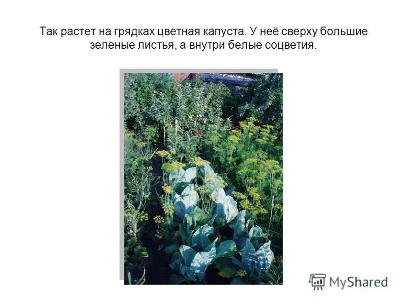 Так растет на грядках цветная капуста. У неё сверху большие зеленые листья, а внутри белые соцветия.