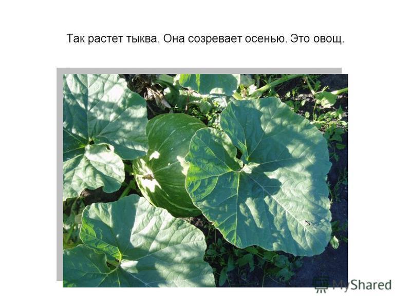 Так растет тыква. Она созревает осенью. Это овощ.