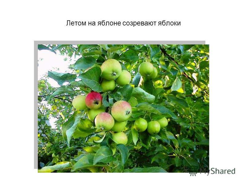 Летом на яблоне созревают яблоки