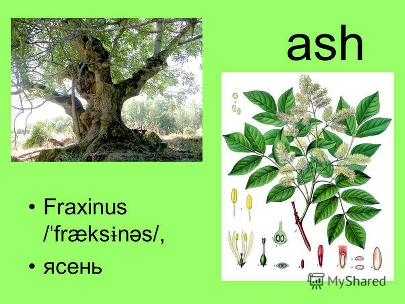 ash Fraxinus / ˈ fræks ɨ nəs/, ясень