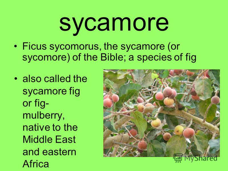 sycamore Ficus sycomorus, the sycamore (or sycomore) of the Bible; a species of fig also called the sycamore fig or fig- mulberry, native to the Middle East and eastern Africa