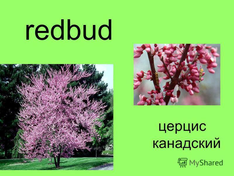 redbud церцис канадский