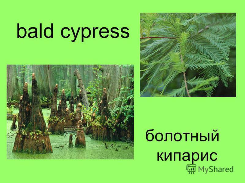 bald cypress болотный кипарис