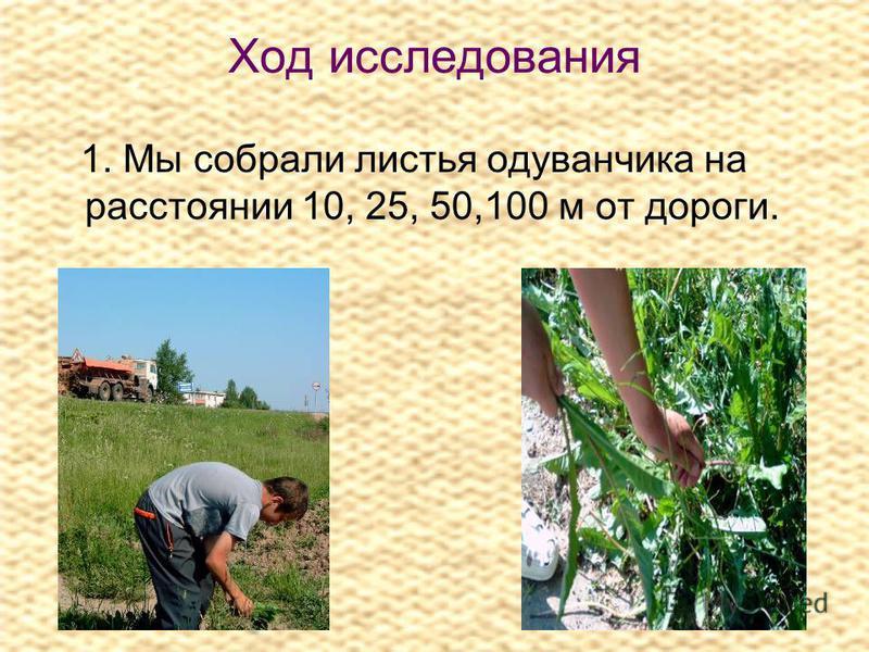 Ход исследования 1. Мы собрали листья одуванчика на расстоянии 10, 25, 50,100 м от дороги.