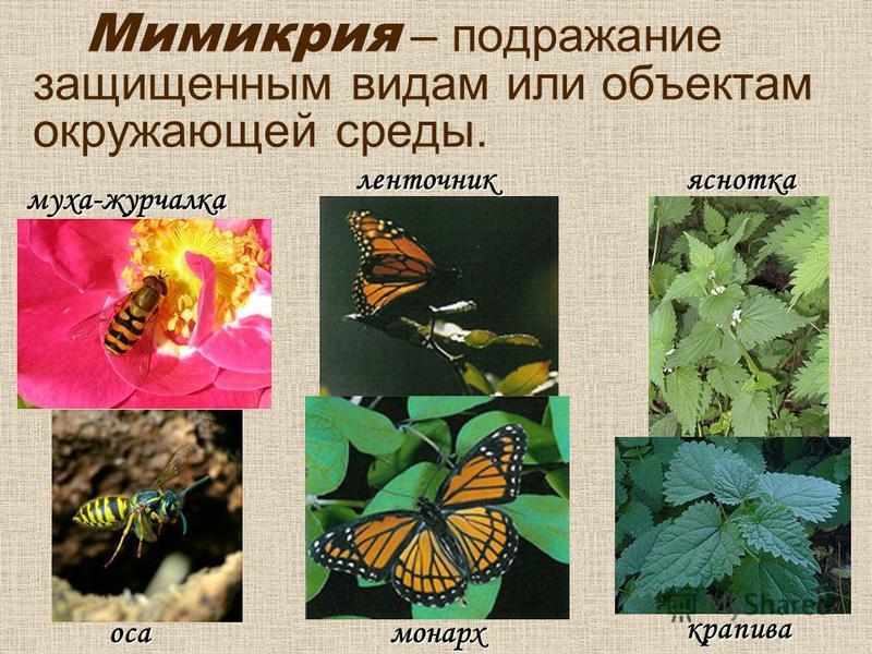Мимикрия – подражание защищенным видам или объектам окружающей среды.муха-журчалка оса ленточник монарх яснотка крапива
