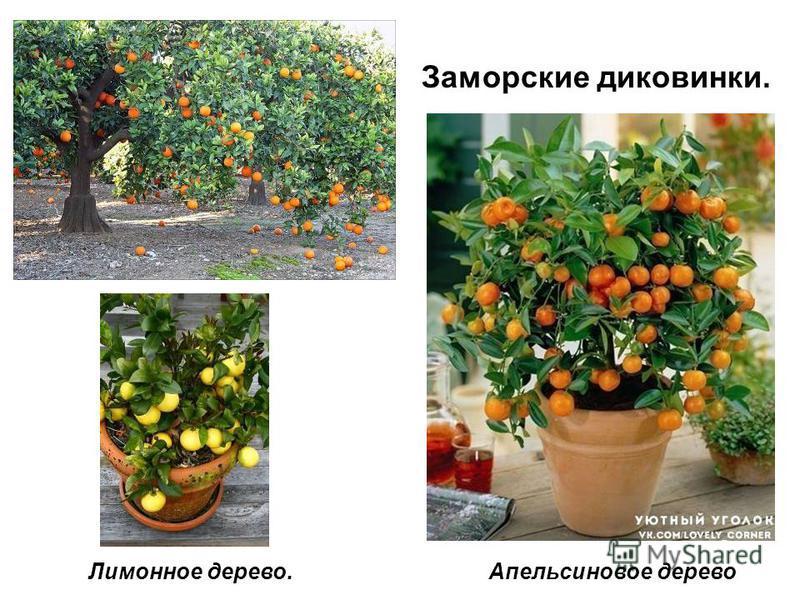 Заморские диковинки. Апельсиновое дерево Лимонное дерево.