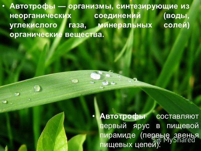 Автотрофы организмы, синтезирующие из неорганических соединений (воды, углекислого газа, минеральных солей) органические вещества. Автотрофы составляют первый ярус в пищевой пирамиде (первые звенья пищевых цепей).