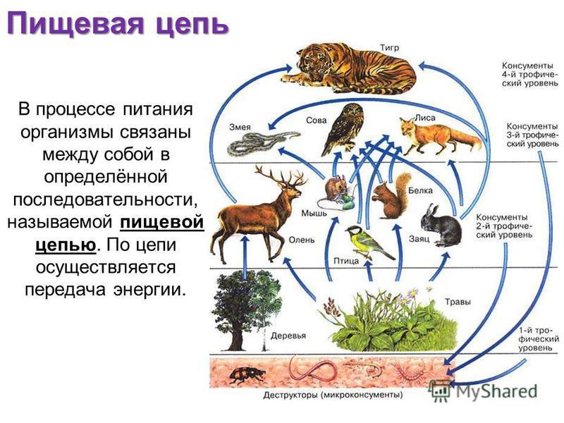 В процессе питания организмы связаны между собой в определённой последовательности, называемой пищевой цепью. По цепи осуществляется передача энергии. Пищевая цепь