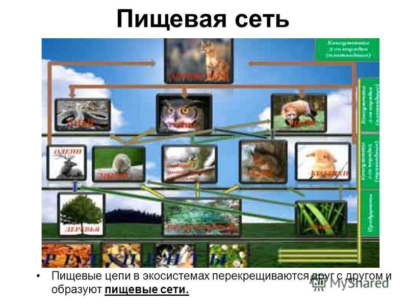 Пищевая сеть Пищевые цепи в экосистемах перекрещиваются друг с другом и образуют пищевые сети.
