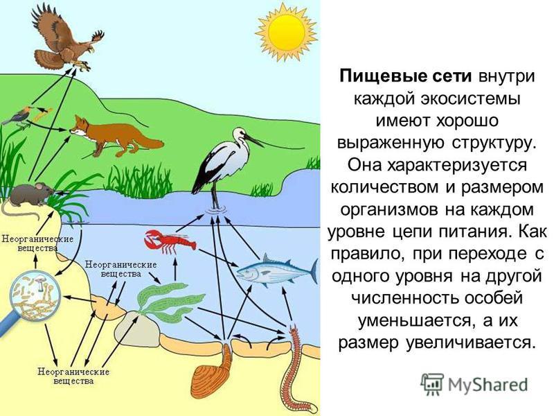 Пищевые сети внутри каждой экосистемы имеют хорошо выраженную структуру. Она характеризуется количеством и размером организмов на каждом уровне цепи питания. Как правило, при переходе с одного уровня на другой численность особей уменьшается, а их раз