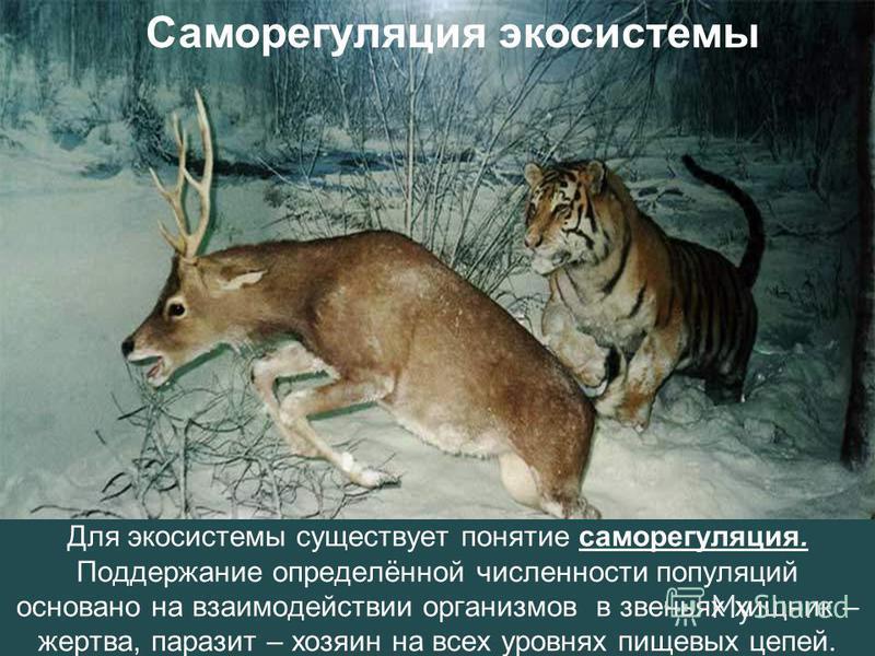 Для экосистемы существует понятие саморегуляция. Поддержание определённой численности популяций основано на взаимодействии организмов в звеньях хищник – жертва, паразит – хозяин на всех уровнях пищевых цепей. Саморегуляция экосистемы