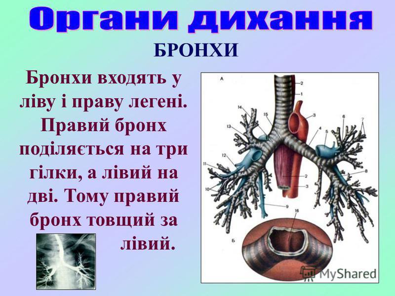 БРОНХИ Бронхи входять у ліву і праву легені. Правий бронх поділяється на три гілки, а лівий на дві. Тому правий бронх товщий за лівий.
