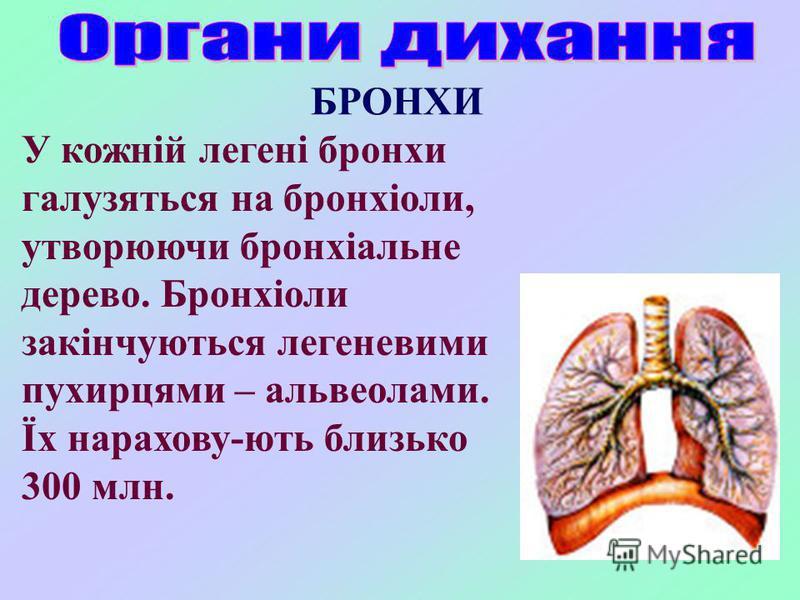 У кожній легені бронхи галузяться на бронхіоли, утворюючи бронхіальне дерево. Бронхіоли закінчуються легеневими пухирцями – альвеолами. Їх нарахову-ють близько 300 млн. БРОНХИ