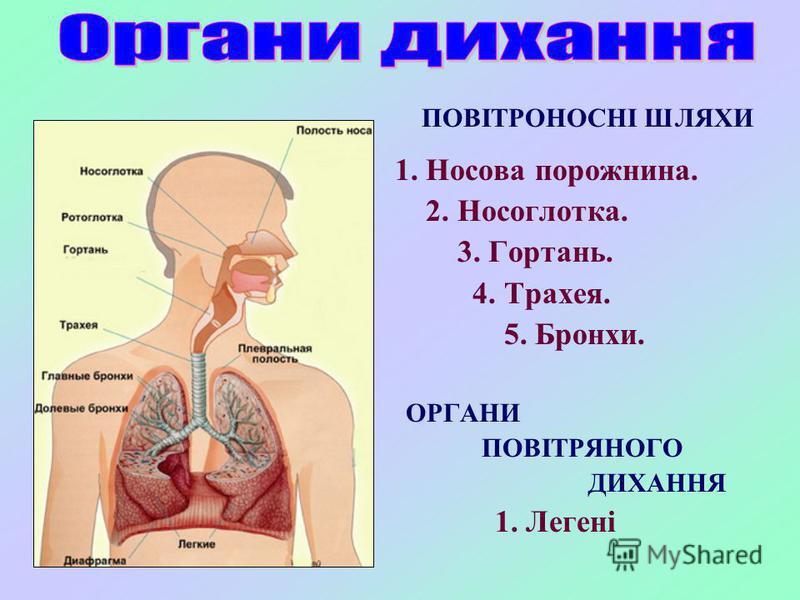 ПОВІТРОНОСНІ ШЛЯХИ 1. Носова порожнина. 2. Носоглотка. 3. Гортань. 4. Трахея. 5. Бронхи. ОРГАНИ ПОВІТРЯНОГО ДИХАННЯ 1. Легені