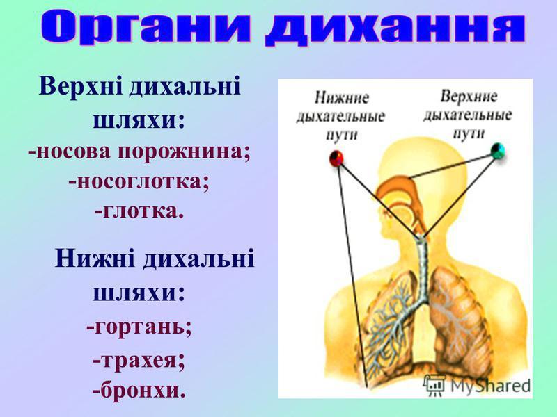 Верхні дихальні шляхи: -носова порожнина; -носоглотка; -глотка. Нижні дихальні шляхи: -гортань; -трахея ; -бронхи.