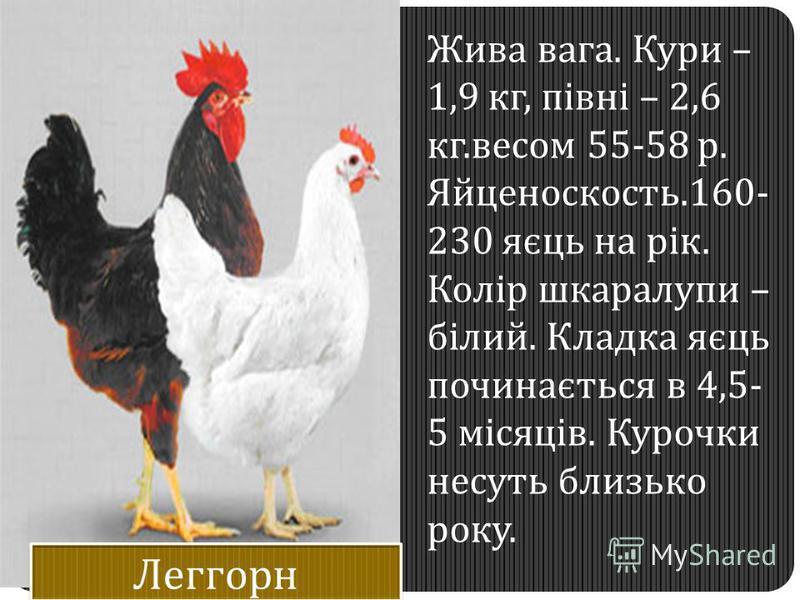 Жива вага. Кури – 1,9 кг, півні – 2,6 кг.весом 55-58 р. Яйценоскость.160- 230 яєць на рік. Колір шкаралупи – білий. Кладка яєць починається в 4,5- 5 місяців. Курочки несуть близько року.