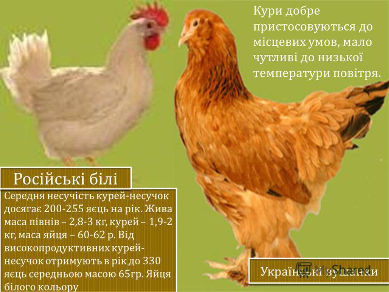 Кури добре пристосовуються до місцевих умов, мало чутливі до низької температури повітря.