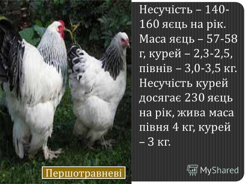 Несучість – 140- 160 яєць на рік. Маса яєць – 57-58 г, курей – 2,3-2,5, півнів – 3,0-3,5 кг. Несучість курей досягає 230 яєць на рік, жива маса півня 4 кг, курей – З кг.