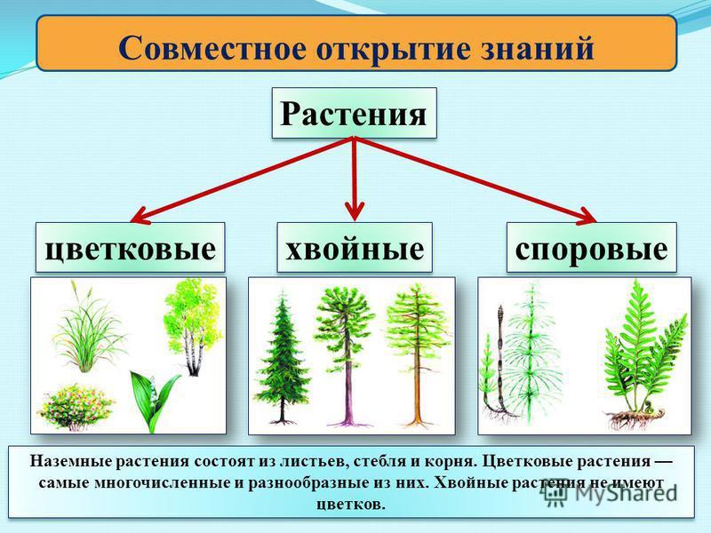 Совместное открытие знаний Растения цветковые хвойные споровые Наземные растения состоят из листьев, стебля и корня. Цветковые растения самые многочисленные и разнообразные из них. Хвойные растения не имеют цветков. Наземные растения состоят из листь