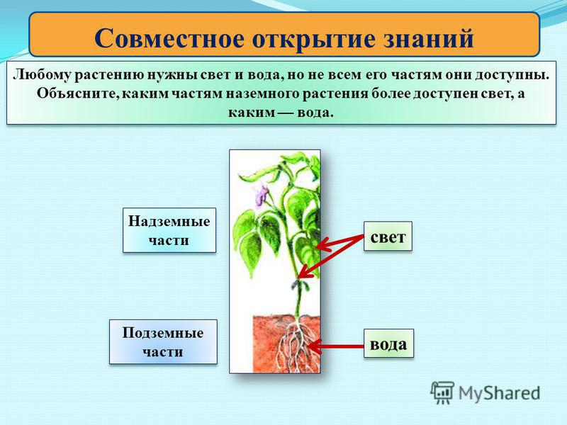 Совместное открытие знаний Любому растению нужны свет и вода, но не всем его частям они доступны. Объясните, каким частям наземного растения более доступен свет, а каким вода. Любому растению нужны свет и вода, но не всем его частям они доступны. Объ