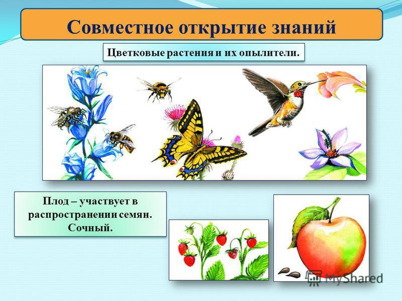 Совместное открытие знаний Цветковые растения и их опылители. Плод – участвует в распространении семян. Сочный.