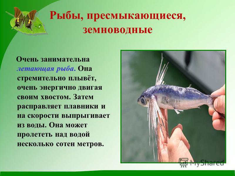 Рыбы, пресмыкающиеся, земноводные Очень занимательна летающая рыба. Она стремительно плывёт, очень энергично двигая своим хвостом. Затем расправляет плавники и на скорости выпрыгивает из воды. Она может пролететь над водой несколько сотен метров.