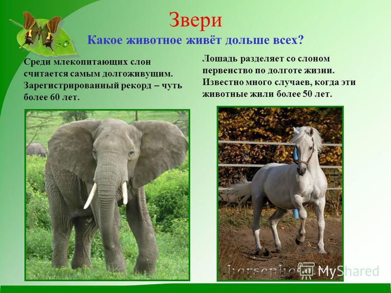 Звери Какое животное живёт дольше всех? Среди млекопитающих слон считается самым долгоживущим. Зарегистрированный рекорд – чуть более 60 лет. Лошадь разделяет со слоном первенство по долготе жизни. Известно много случаев, когда эти животные жили боле
