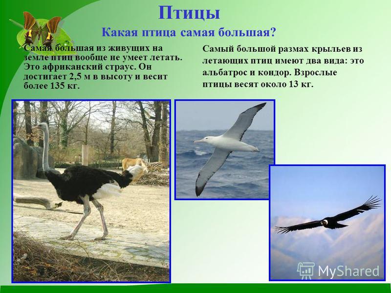 Птицы Какая птица самая большая? Самая большая из живущих на земле птиц вообще не умеет летать. Это африканский страус. Он достигает 2,5 м в высоту и весит более 135 кг. Самый большой размах крыльев из летающих птиц имеют два вида: это альбатрос и ко