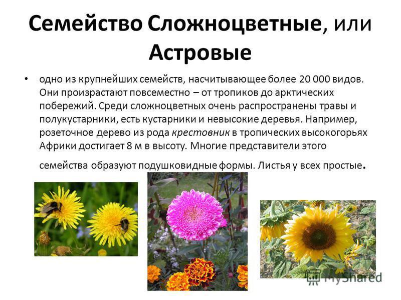 Семейство Сложноцветные, или Астровые одно из крупнейших семейств, насчитывающее более 20 000 видов. Они произрастают повсеместно – от тропиков до арктических побережий. Среди сложноцветных очень распространены травы и полукустарники, есть кустарники