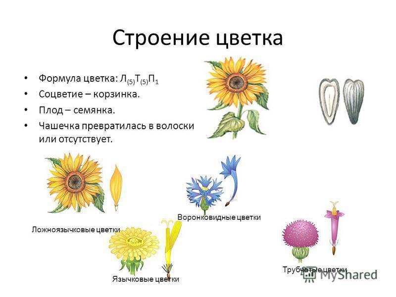 Строение цветка Формула цветка: Л (5) Т (5) П 1 Соцветие – корзинка. Плод – семянка. Чашечка превратилась в волоски или отсутствует. Язычковые цветки Ложноязычковые цветки Воронковидные цветки Трубчатые цветки