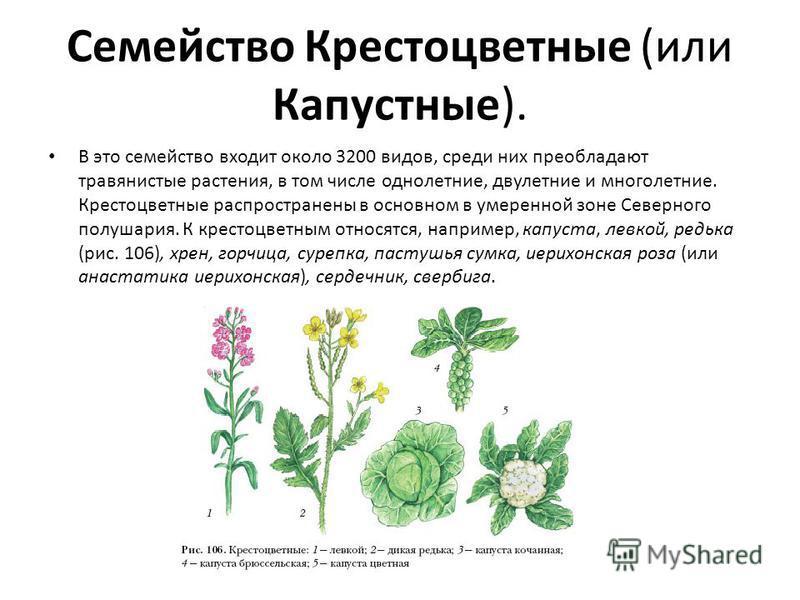 Семейство Крестоцветные (или Капустные). В это семейство входит около 3200 видов, среди них преобладают травянистые растения, в том числе однолетние, двулетние и многолетние. Крестоцветные распространены в основном в умеренной зоне Северного полушари