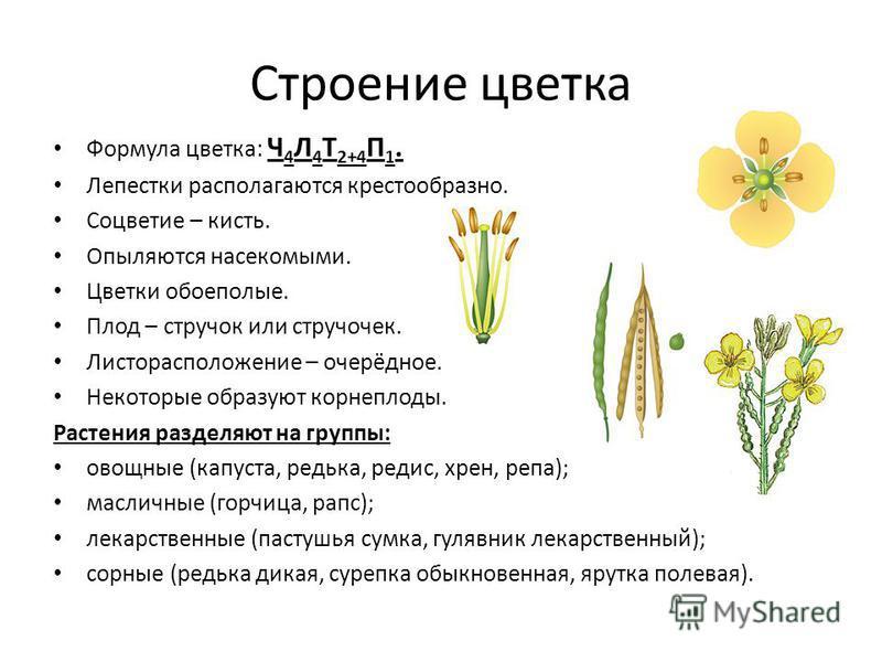 Строение цветка Формула цветка: Ч 4 Л 4 Т 2+4 П 1. Лепестки располагаются крестообразно. Соцветие – кисть. Опыляются насекомыми. Цветки обоеполые. Плод – стручок или стручочек. Листорасположение – очерёдное. Некоторые образуют корнеплоды. Растения ра