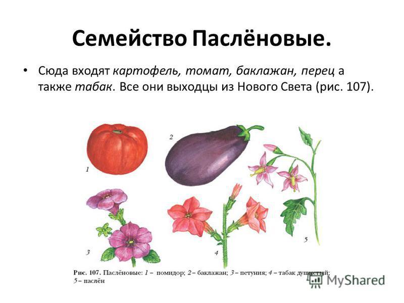 Семейство Паслёновые. Сюда входят картофель, томат, баклажан, перец а также табак. Все они выходцы из Нового Света (рис. 107).
