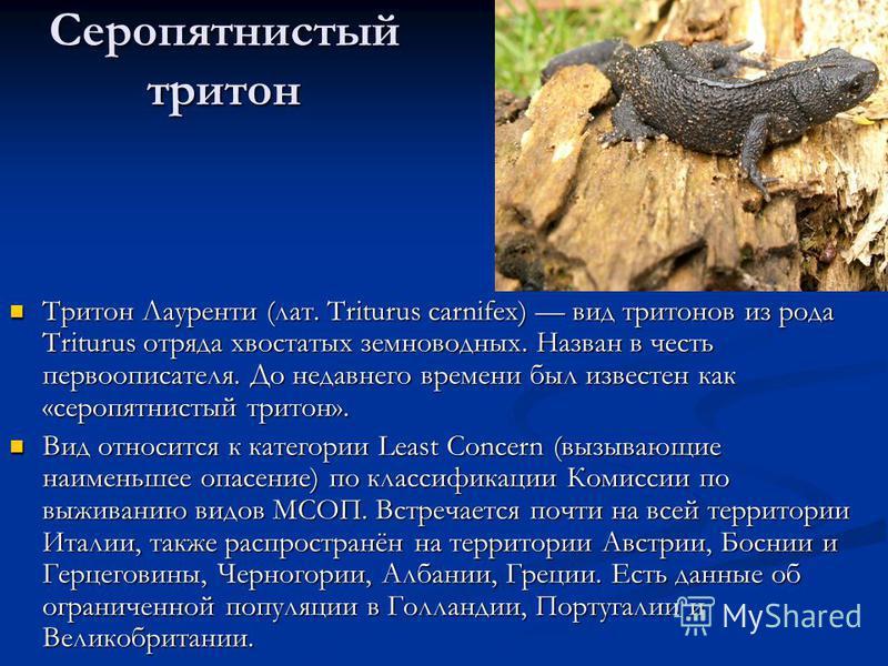 Серопятнистый тритон Тритон Лауренти (лат. Triturus carnifex) вид тритонов из рода Triturus отряда хвостатых земноводных. Назван в честь первого писателя. До недавнего времени был известен как «серо пятнистый тритон». Тритон Лауренти (лат. Triturus c