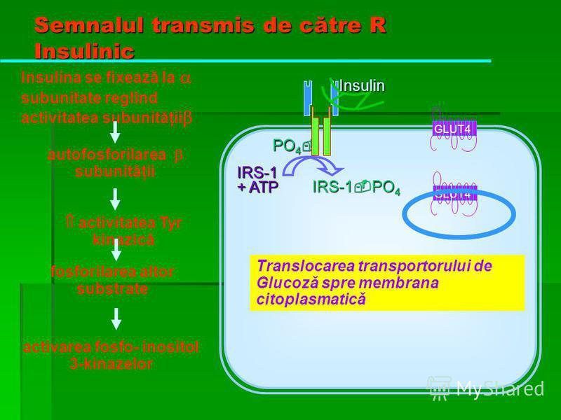 Semnalul transmis de către R Insulinic PO 4 PO 4 IRS-1 + ATP IRS-1 PO 4 Insulina se fixează la subunitate reglînd activitatea subunităţii Insulin autofosforilarea subunităţii GLUT4 fosforilarea altor substrate activitatea Tyr kinazică activarea fosfo