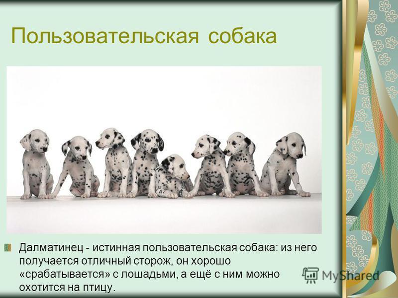 Пользовательская собака Далматинец - истинная пользовательская собака: из него получается отличный сторож, он хорошо «срабатывается» с лошадьми, а ещё с ним можно охотится на птицу.