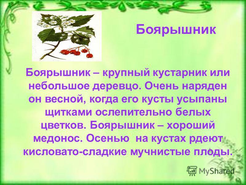 Боярышник Боярышник – крупный кустарник или небольшое деревцо. Очень наряден он весной, когда его кусты усыпаны щитками ослепительно белых цветков. Боярышник – хороший медонос. Осенью на кустах рдеют кисловато-сладкие мучнистые плоды.
