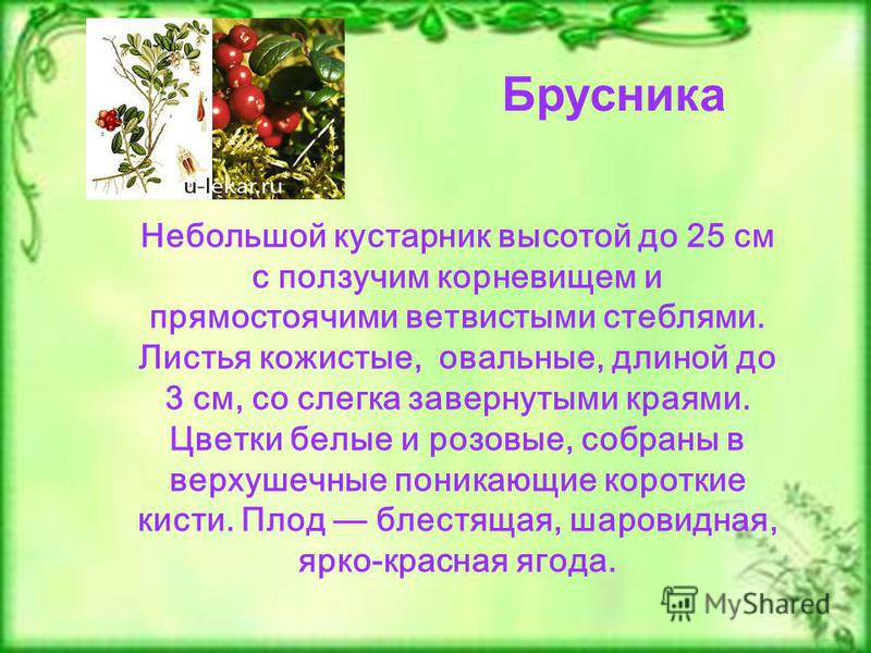 Брусника Небольшой кустарник высотой до 25 см с ползучим корневищем и прямостоячими ветвистыми стеблями. Листья кожистые, овальные, длиной до 3 см, со слегка завернутыми краями. Цветки белые и розовые, собраны в верхушечные поникающие короткие кисти.