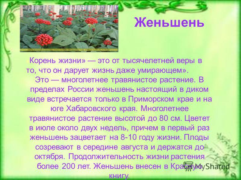 « Корень жизни» это от тысячелетней веры в то, что он дарует жизнь даже умирающем». Это многолетнее травянистое растение. В пределах России женьшень настоящий в диком виде встречается только в Приморском крае и на юге Хабаровского края. Многолетнее т