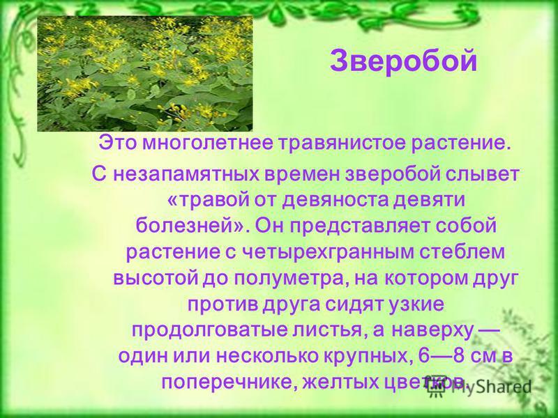 Это многолетнее травянистое растение. С незапамятных времен зверобой слывет «травой от девяноста девяти болезней». Он представляет собой растение с четырехгранным стеблем высотой до полуметра, на котором друг против друга сидят узкие продолговатые ли