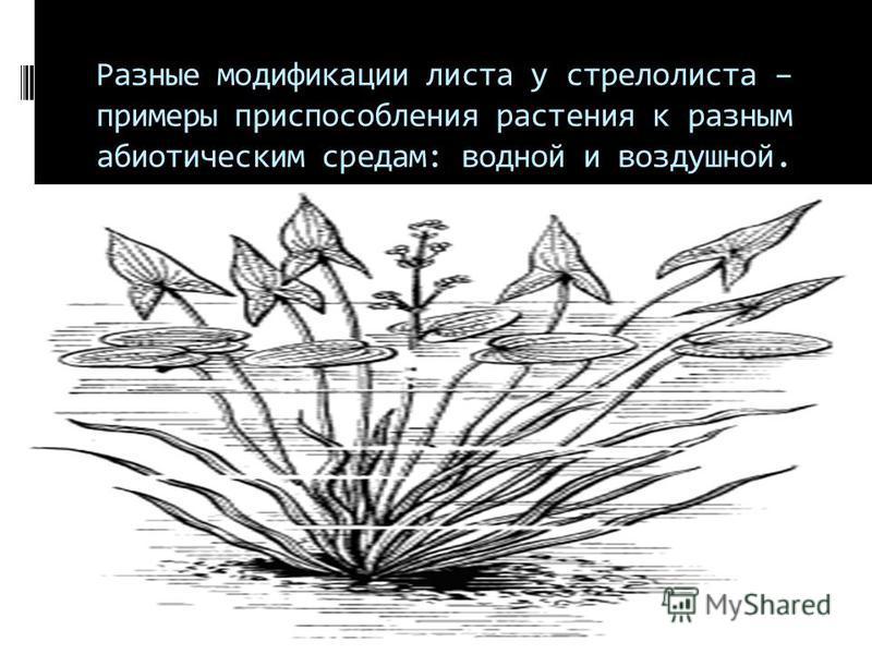 Разные модификации листа у стрелолиста – примеры приспособления растения к разным абиотическим средам: водной и воздушной.