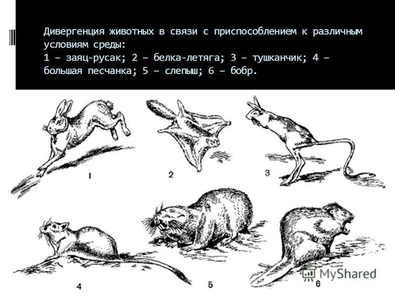 Дивергенция животных в связи с приспособлением к различным условиям среды: 1 – заяц-русак; 2 – белка-летяга; 3 – тушканчик; 4 – большая песчанка; 5 – слепыш; 6 – бобр.