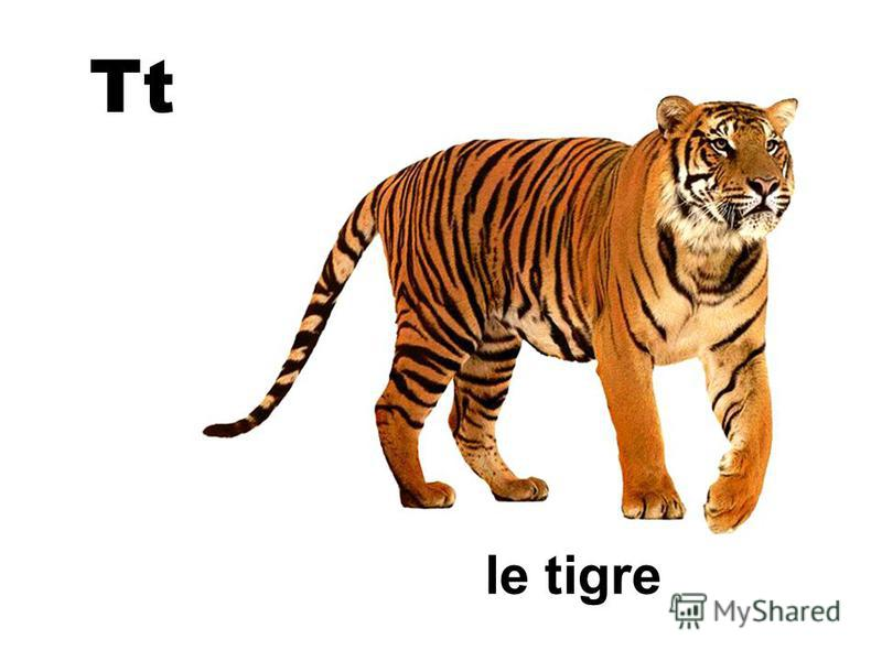 Tt le tigre
