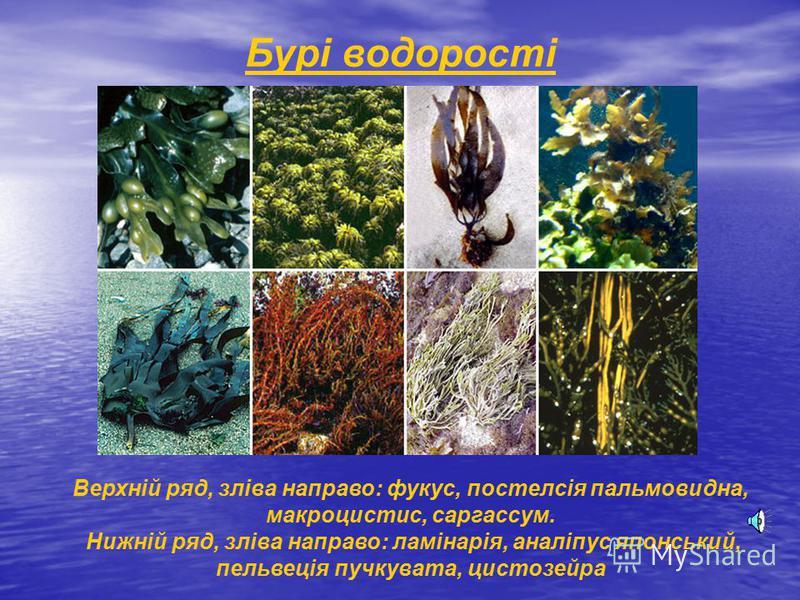 Бурі водорості Верхній ряд, зліва направо: фукус, постелсія пальмовидна, макроцистис, саргассум. Нижній ряд, зліва направо: ламінарія, аналіпус японський, пельвеція пучкувата, цистозейра