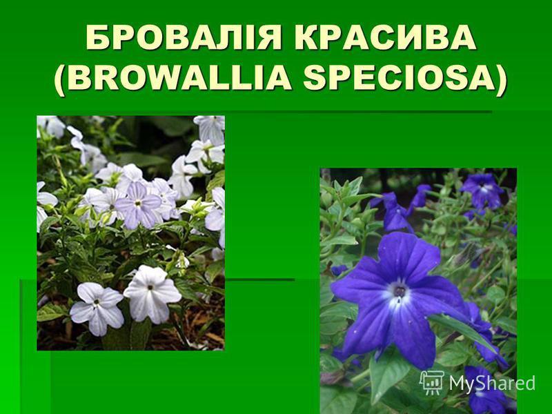 БРОВАЛІЯ КРАСИВА (BROWALLIA SPECIOSA)