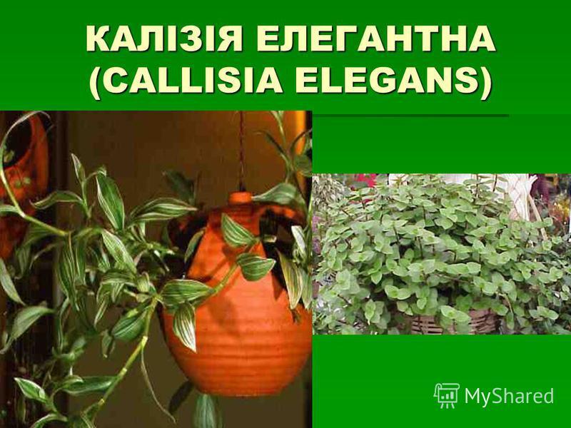 КАЛІЗІЯ ЕЛЕГАНТНА (CALLISIA ELEGANS)