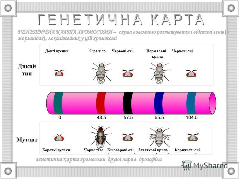 1.Гени знаходяться в хромосомах 2.Різні хромосоми містять неоднакову кількість генів, кожна з негомологічних хромосом має свій унікальний набір генів 3.Кожний ген займає в хромосомі певне місце – локус 4.Алельні гени заповнюють однакові локуси гомоло